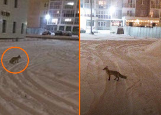 Обатаке диких лис предупредили южноуральцев